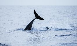 Ogon Pospolity delfin najlepszy widok na ocean atlantycki Obrazy Stock