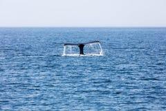 Ogon wieloryb, Cape Cod Zdjęcia Stock