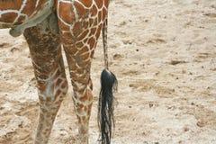 Ogon żyrafa obrazy stock