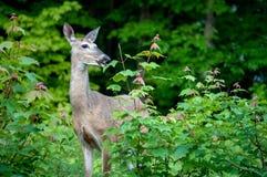 Ogoniaści jeleni łasowanie liście klonowi obraz stock