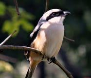 ogoniasta długa ptak dzierzba Obrazy Royalty Free