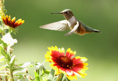Ogoniasta hummingbird kobieta (Selasphorus platycercus) Fotografia Stock