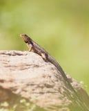 ogoniasta kędzierzawa jaszczurka Zdjęcie Stock