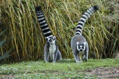 Ogoniasta lemur para Zdjęcie Royalty Free