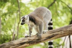 Ogoniasta lemur pozycja zdjęcie royalty free