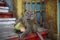 ogoniasta makak długa małpa Zdjęcie Royalty Free