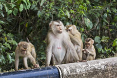 ogoniasta makak świnia Fotografia Royalty Free