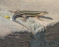 Ogoniasta skink jaszczurka na rockowej ścianie Fotografia Royalty Free