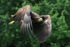 ogoniasty orła biel Fotografia Royalty Free