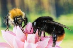 Ogoniasty Bumblebee, Bumblebee, Bombus lapidarius obraz stock