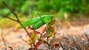 Ogoniasty Bush Katydid (Scudderia furcata) Zdjęcia Stock