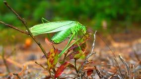 Ogoniasty Bush Katydid (Scudderia furcata) zbiory wideo