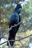 Ogoniasty czarny kakadu fotografia stock