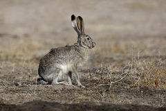 Ogoniasty dźwigarka królik, Lepus californicus Zdjęcie Royalty Free