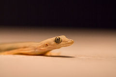 Ogoniasty domowy gekon Obraz Stock