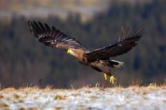 Ogoniasty Eagle, Haliaeetus albicilla, ptasi lot, ptaki zdobycz z lasem w tle, zaczynając od łąki z śniegiem Zdjęcia Stock