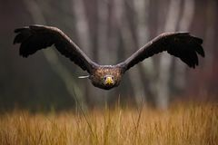 Ogoniasty Eagle, Haliaeetus albicilla, twarz lot, ptak zdobycz z lasem w tle Zwierzę w natury siedlisku, Norwa zdjęcia royalty free
