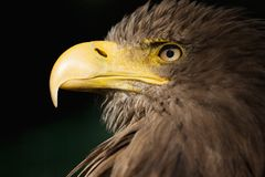 Ogoniasty Eagle, Seeadler Obraz Stock