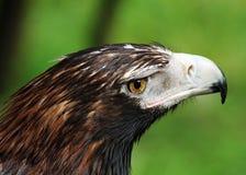 ogoniasty Eagle zbliżenie fotografia stock