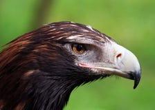 ogoniasty Eagle zbliżenie Zdjęcie Stock