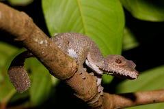 Ogoniasty gekon, Uroplatus fimbriatus, Madagascar fotografia stock