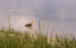 Ogoniasty godwit polowanie na Svityaz jeziorze Fotografia Stock