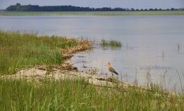 Ogoniasty godwit polowanie na Svityaz jeziorze Zdjęcia Stock