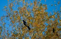 Ogoniasty Grackle siedzi w drzewie Zdjęcia Stock
