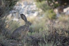 Ogoniasty Jackrabbit Pauzuje w cieniu bylica w Nevada pustyni obrazy stock