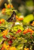 Ogoniasty Jay motyl, graphium agamemnon Zdjęcie Stock