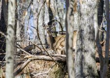 Ogoniasty Jeleni królicy camo w drewnach przy kontyngentu polowaniem fotografia stock