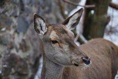Ogoniasty jeleni Odocoileus virginianus fotografia royalty free