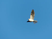Ogoniasty kania ptak w locie obraz royalty free