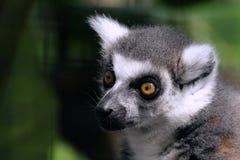 ogoniasty lemur zdjęcie royalty free