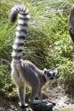 Ogoniasty lemur który stoi na brzeg jezioro swój ogonów rais Zdjęcie Royalty Free