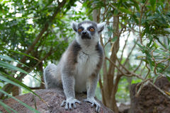 Ogoniasty lemur & x28; Lemura catta& x29; Fotografia Royalty Free