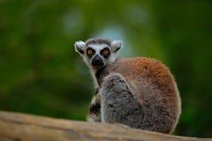 Ogoniasty lemur, lemura catta z zieleń jasnego tłem, wielki strepsirrhine prymas w natury siedlisku Śliczny zwierzę od M Zdjęcie Stock