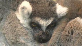 Ogoniasty lemur, lemur lub Katta LAT, Lemura catta zbiory