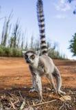 Ogoniasty lemur na ziemi Madagascar Zdjęcia Stock