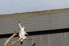 Ogoniasty lemur prawie spada od gałąź zdjęcia stock