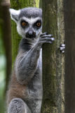 Ogoniasty lemur przy Singapur zoo w Singapur Obraz Royalty Free