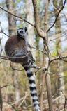 Ogoniasty lemur siedzi samotnie w drzewie fotografia stock