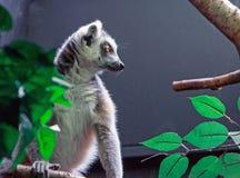 Ogoniasty lemur strony profilu obsiadanie na gałąź z pustym naturalnym tłem Fotografia Stock