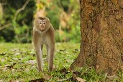Ogoniasty makak Obraz Stock
