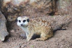Ogoniasty MeerkatSuricate Suricata suricatta Zdjęcie Stock