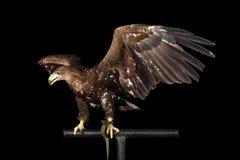 Ogoniasty orzeł, ptaki odizolowywający na Czarnym tle zdobycz zdjęcie stock