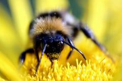 ogoniasty płowy bumblebee Obrazy Royalty Free