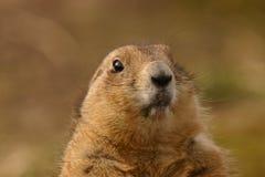Ogoniasty Preryjny świstak - Cynomys ludovicianus Zdjęcie Royalty Free