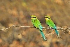 Ogoniasty pszczoła zjadacz żerdź kolor - Afrykański Dziki Ptasi tło - Obrazy Royalty Free