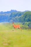 Ogoniasty rogacz chodzi out od gęstego muśnięcia przy Łysym gałeczka rezerwatem dzikiej przyrody w Łysej gałeczce fotografia stock